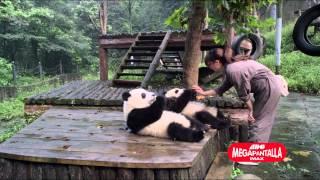 Nonton Pandas  De Regreso A Casa 3d Film Subtitle Indonesia Streaming Movie Download