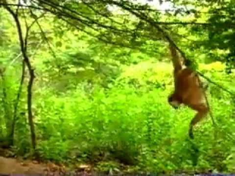 Scimmia prende in giro due tigri e riesce a scamparla