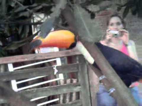Tucano em bebedouro