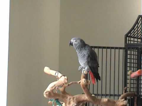 Papiga oblada