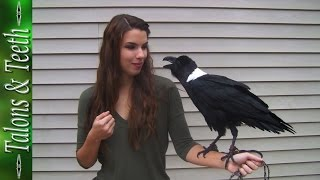 Ravens can talk! AMAZINGLY CLEVER