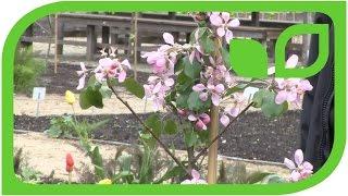 Lubera Obsthecken im Küchengarten auf Schloss Ippenburg