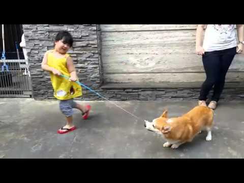 Tämä Corgi tietää ettei tarvitse osata hypätä saadakseen lelun