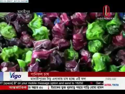 Madaripur farmers cultivate water chestnut (22-11-2017)