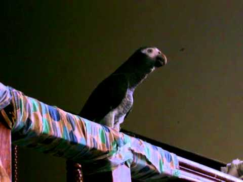 African Gray Parrot (Timneh) more talking.1