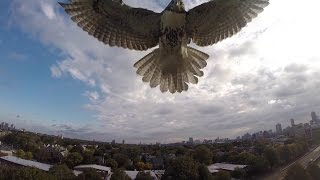 On Oct 8th, I was flying my quadcopter at Magazine Beach Park in Cambridge, MA when a hawk decided he wasn't too happy with ...
