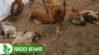 Chăn nuôi gà | Gà đi phân nhớt, có bọt: Nguyên nhân và cách chữa trị