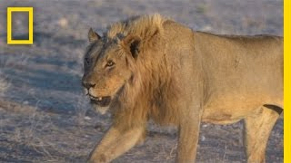 When lions threaten his livestock, a Namibian farmer's first instinct might be to kill the big cats. But conservationists have brought attention to the benef...