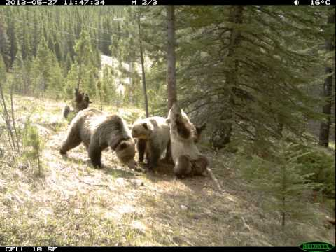 Goes - Ever wonder what bears do when we're not looking? These images were captured with a remote wildlife camera as various species visited a
