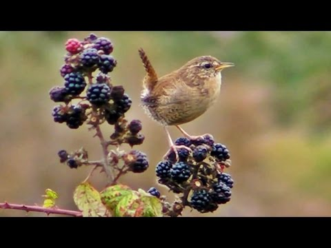 Wren - Little Bird Singing a Song on A Blackberry Bush - Chant de Troglodyte Mignon