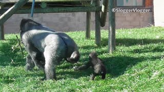 Gorilla Dad Stops Son Playing With The Food And Taps His Leg Out