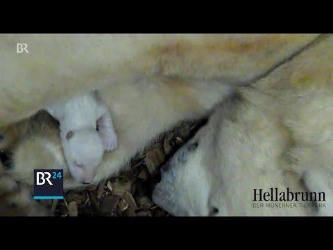 München: Tierpark Hellabrunn München - Eisbär-Nachw ...