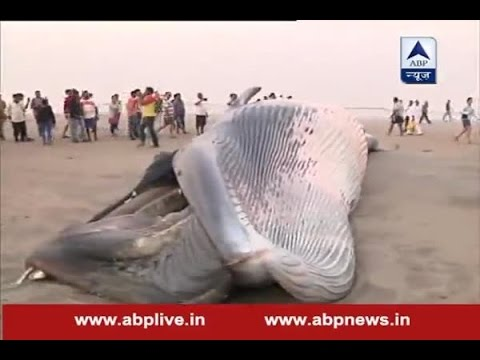 30-Foot-Long Dead Whale Washed Up on the Juhu Beach in Mumbai