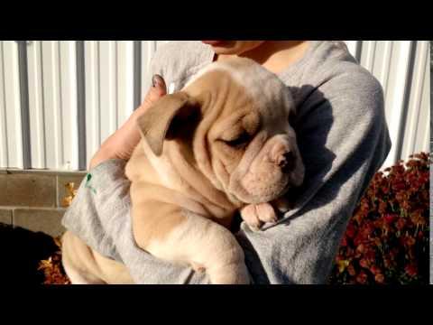 Ellie - 78th English Bulldog