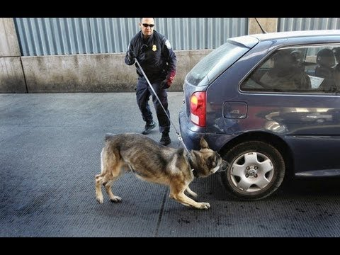 Drug-Sniffing Dogs Could Warrant Home Searches (видео)