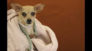 A5090204 Cookie is an adorable 6-year-old tan-and-white female Chihuahua who was left at the Baldwin Park Animal Care Center on July 17th by her owners because they said it was too much responsibility to care for a dog. Weighing only 9 lbs, this poor little dear is understandably overwhelmed in the shelter environment. But she was incredibly cooperative upon meeting our volunteers. She wasn't interested in walking for us on leash, but was content snuggling in a blanket in a lap when given the opportunity. This people pleaser also enjoyed having some treats, and took them very gently. With her fun medium energy and small dog demeanor, she'll make an excellent companion for a first-time dog owner or a senior - but she really can fit in just about anywhere (as long as any children in the house know to respect her bitty size)!  For more information on this pet, contact volunteer UHA adoption coordinator Viri at 626-318-2038 or vfloera@gmail.com.United Hope for Animals is not a facility. To CHECK THE STATUS of this animal, contact the BALDWIN PARK SHELTER in person, by phone or on their website:Address: 4275 Elton St, Baldwin Park, CA 91706Phone: (626) 962-3577Website: http://1.usa.gov/1oB6G0pIf you end up adopting this animal, please give a shout out to #unitedhopeforanimals @UnitedHope on social media,  leave a comment here as a thank you to our Volunteers, or donate to UHA at http://unitedhope4animals/donate. Thank you for looking! Please SHARE this animal if you are unable to adopt. United Hope for Animals links:ADOPTABLE PETS: http://goo.gl/gY1ReUFACEBOOK: https://www.facebook.com/UnitedHopeTWITTER: https://twitter.com/UHope4AnimalsINSTAGRAM: http://instagram.com/unitedhopeforanimalsWEBSITE: http://unitedhope4animals.orgOur Mission:United Hope for Animals is dedicated to reducing homelessness among companion animals through spay/neuter, shelter support, photography, video and networking of shelter animals in Southern California. It is an all-volunteer, non-profit or