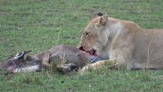 Video Best of Kenya Wildlife Photo Safari - Day 7 - September 3, 2017 - Masai Mara MP3, 3GP, MP4, WEBM, AVI, FLV Februari 2019