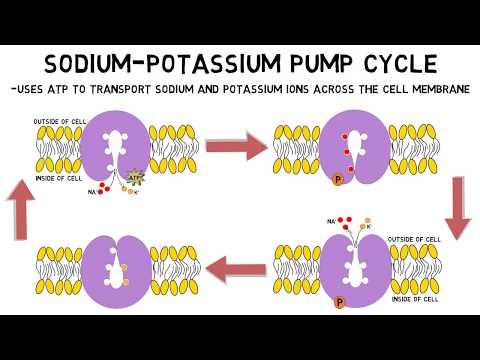 2-Minute Neuroscience: Sodium-Potassium Pump