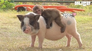 Video A baby monkey riding on a mini pig's back? MP3, 3GP, MP4, WEBM, AVI, FLV Mei 2018