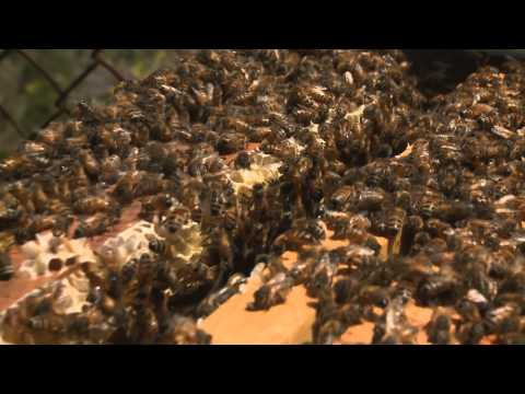 New Research into Disappearing Bees – KQED QUEST