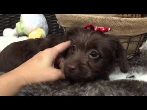 Chocolate, little Mini Labradoodle!!