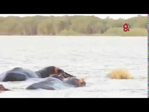 The conflict between a Bull Shark and a herd of Hippo