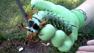 The Largest Caterpillar Ever :o