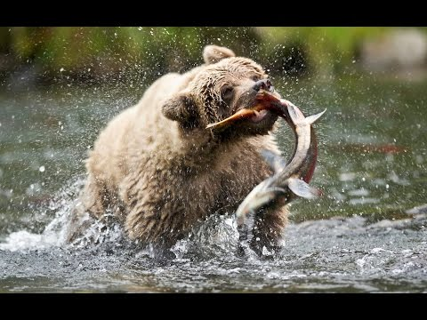 PBS Nature Documentary - Salmon: Running the Gauntlet
