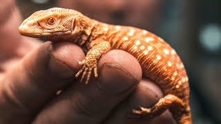 GETTING ONE OF THE RAREST LIZARDS IN THE WORLD!! | BRIAN BARCZYK by Brian Barczyk