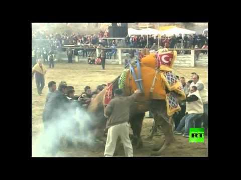 مصارعة الجمال في تركيا - فيديو