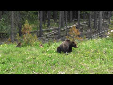 Grizzly Bear and 2 Cubs Banff June 2017