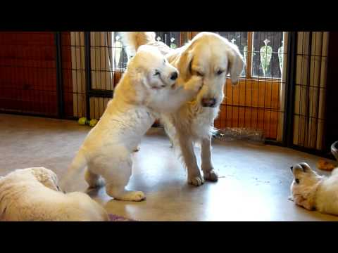 golden retriever grandma trying to escape her grandpuppies