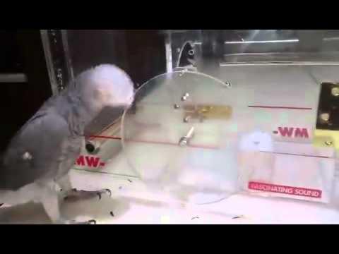 Smart Parrot Figures Out Puzzle for Treat