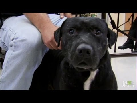 Dog Fighting Task Force Heroes | Pit Bulls and Parolees