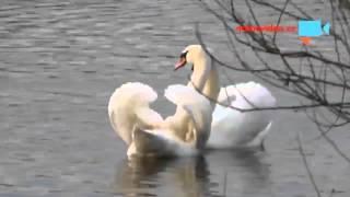 Na Vltavě už začaly labutí námluvy. Podívejte se…