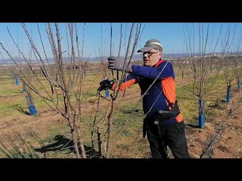Agrosostenibilidad: ciruelo, poda de árboles jóvenes
