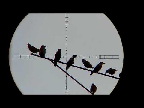 The Starling Death Star - Farmyard Pest Control (HUNTING/SHOOTING)
