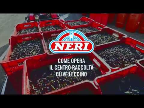 Centro raccolta delle olive leccino toscane