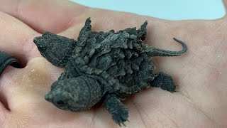 GETTING A TWO HEADED SNAPPING TURTLE!! | BRIAN BARCZYK by Brian Barczyk
