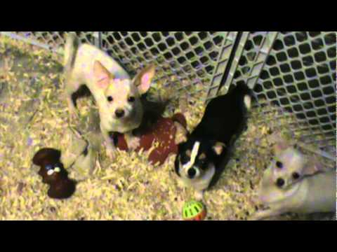 Chihuahua puppies looking for there forever homes
