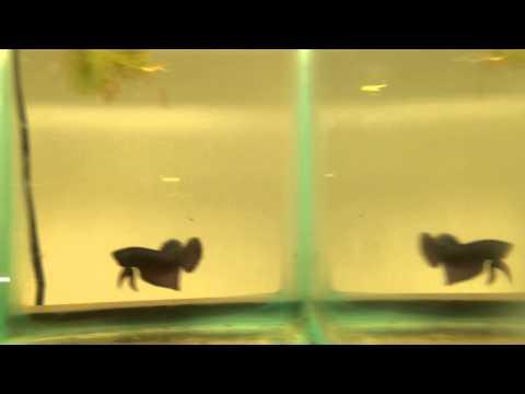 Wild Bettas : Blue Mahachai & Copper Smargadina Pairs The Betta Shop 5/6/2014