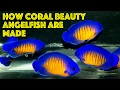 How Coral Beauty Angelfish Are Made waptubes