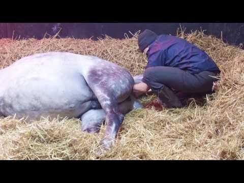 Video Arabian Horse Foaling download in MP3, 3GP, MP4, WEBM, AVI, FLV January 2017