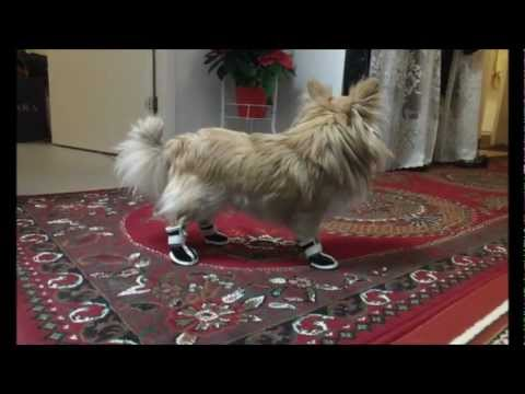 Funny chihuahua trying to walk with new shoes!