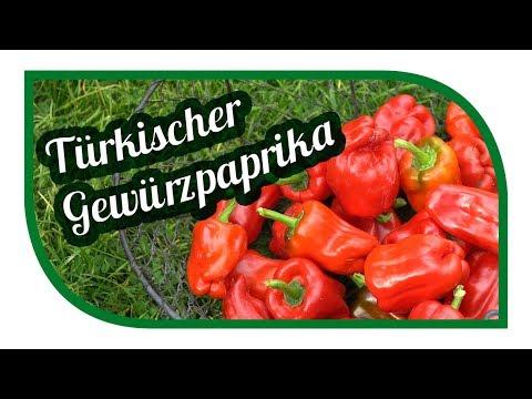 Paprika erfolgreich anbauen 🌶 Gewürzpaprika pflanzen 🌶 Türkischer Gewürzpaprika