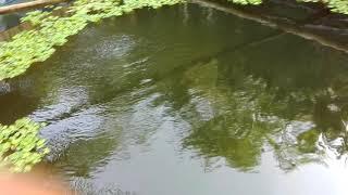 Kolam Terpal Bundar D6 - Gurame Dengan Aerator