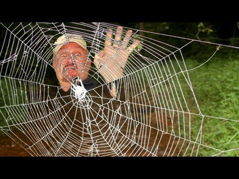 web - A spider web, spiderweb, spider's web, or cobweb is a device created by a spider out of spider silk extruded from its spinnerets. Spider webs have existed fo...