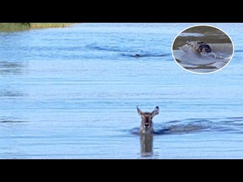 Un antílope intenta escapar de un cocodrilo, ¿lo logrará?