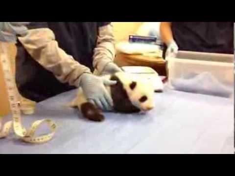 原來聽熊貓的叫聲,要把音響關小聲一點,否則會被異樣的眼光看著...