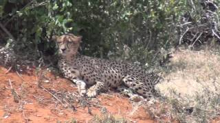 Very RARE!!! Cheetahs Mating Caught On HD Video Tsavo East Kenya June 2011